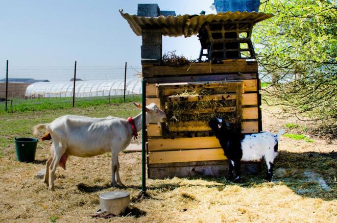 les chèvres de la ferme
