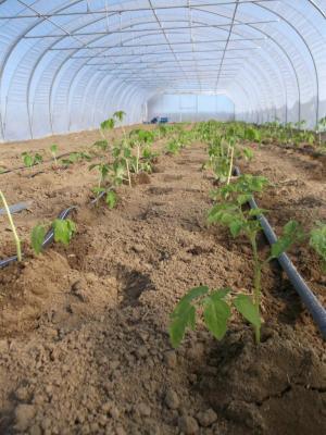 La serre des tomates