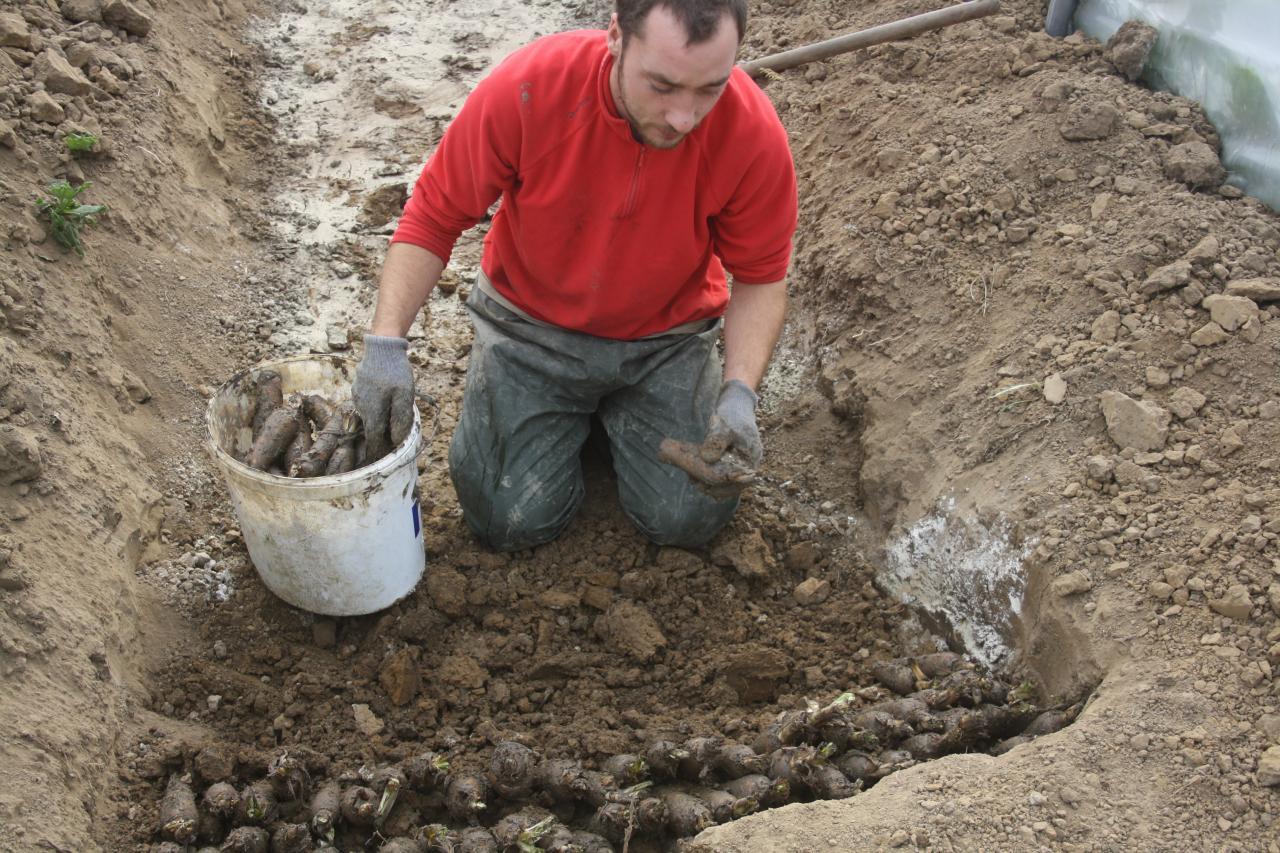 Mise en terre des racines de chicon
