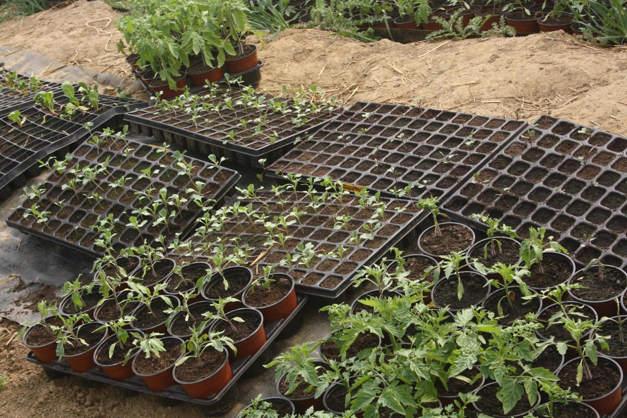 Tomates, aubergines et compagnies