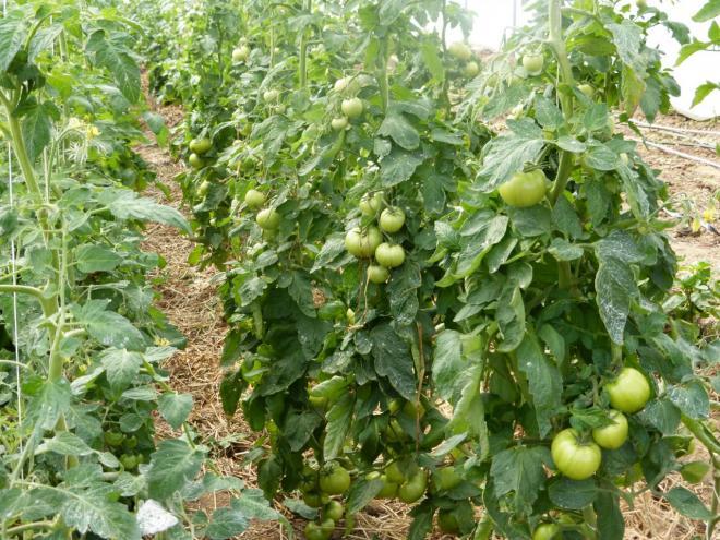 Les tomates tant attendues